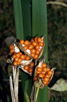 Iris foetidissima - seed head