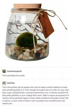 Ive never even heard of this and I love it already I love u little marimo - Funny Monkeys - Funny Monkeys meme - - Marimo The post Ive never even heard of this and I love it already I love u little marimo appeared first on Gag Dad. A Silent Voice, My New Room, House Plants, Just In Case, Fun Facts, Life Hacks, Projects To Try, Tumblr, Funny Monkeys