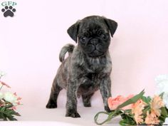 Wayne, pug puppy for sale from Ronks, PA