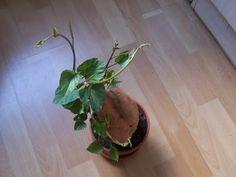 wenn man einen vollsonnigen standort zu bieten hat, ist die süsskartoffel eine aparte zimmerpflanze. sie wächst sehr schnell, rankt wie wild und verträgt zimmertemperatur ganzjährig. man kann sie entweder hochkant oder quer in den topf geben. vermehren lässt sie sich durch triebstecklinge, diese wurzeln innerhalb von 1-2 tagen. ihre blüten sind weiss-violett.während der warmen sommermonate sollte sie alle 2-3 tage gegossen werden.