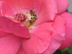 La Vie en rose - This little guy was hanging out in one of the roses in the…