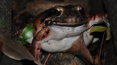 Chicken frog?
