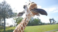 O Serengeti Safari é um tour privado do parque Busch Gardens e te deixa pertinho de animais do safari africano, como antílopes e girafas. E você também pode alimentar alguns deles.