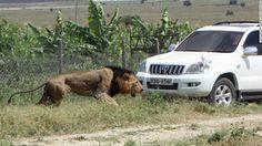 Google+ Matan a tiros al león Mohawk en Kenya tras atacar a un hombre