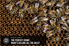 THE CASE OF THE VANISHING BEES: Pesticides & The Perfect Crime: In the widespread bee die-offs, bees often just vanish. One beekeeper calls it the Perfect Crime—no bodies, no murder weapon, no bees. What's happening to the bees? Please buy organic products. Cheaper than store bought if you go directly to the farmer. Find one in your area: http://www.EatLocalGrown.com
