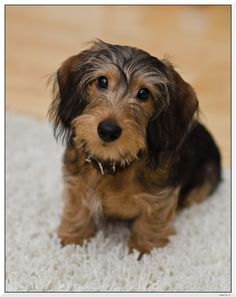 Image Result For Silky Wire Haired Dachshunds Wire Haired