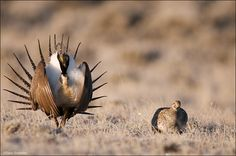 A Greater Sage-Grouse Male displays for a female in Sublette County, Wyoming. Fish Face, Happy New Year 2015, Grouse, Endangered Species, Love Birds, Pet Birds, Wildlife, Sage, Wyoming