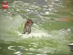 #YOLO | Four Furry Animals That Live Life On The Edge - Water Skiing Squirrel - Buzzfeed