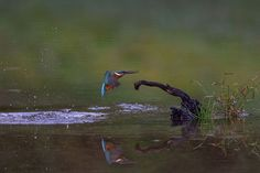 Kingfisher with Reflection by Mubi.A