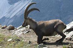 Tarım ve Orman Bakanlığı 15. Bölge Müdürlüğü'nün toplam 31 adet yaban keçisi, 2 adet çengel boynuzlu dağ keçisi ve 2 adet kızıl geyik acente kotalarının avlattırılması ihalesi iptal edildi. Dağ keçileri ve 2 kızıl geyik şimdilik kurtuldu. Pazartesi günü (13 Temmuz 2020'de yapılacağı ilan edilen ihale ile Tunceli'de 15'i yaban keçisi, 2'si çengel boynuzlu dağ […]   #Av, #DağKeçisi, #Ihale, #TarımVeOrmanBakanlığı, Capricorn, Animals, Animals And Pets, Animales, Animaux, Animal, Capricorn Sign, Animais