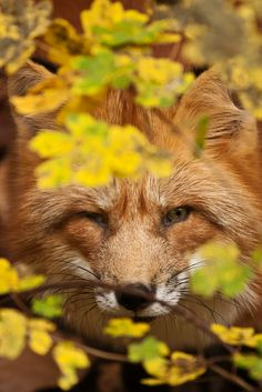 Red Fox Hiding Under Autumn Foliage.