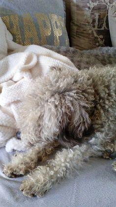 Bedlington terrier. Bambi lekker slapen..