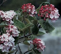 Scented, Aromatic, Fragrant Shrubs and Garden Plants: Viburnum carlesii Garden Plants, Shrubs, Backyard, Park, Rose, Flowers, Nice, Patio, Pink