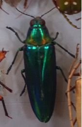 A green jewel beetle  photographed at London Natural History Museum. Interesting cigar shape and stunning green metallic colouring.