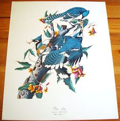 LARGE Audubon Folio Fine Art Print Blue Jay 30 Great Birds of America Painting