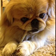 "Click visit site and Check out Cool ""Pekingeses"" T-shirts. This website is superb. Tip: You can search ""your name"" or ""your favorite shirts"" at search bar on the top."