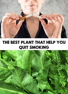 Nicotine is the cause of many diseases and smokers are trying to get rid of this addiction. The Best Plant That Help You Quit Smoking!