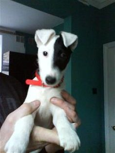 The website for the Fox Terrier Rescue in the United Kingdom (UK). Dedicated to the rescue and re-homing of both Smooth and Wire Fox Terriers. Smooth Fox Terriers, Toy Fox Terriers, Wire Fox Terrier, Terrier Rescue, Terrier Breeds, Terrier Dogs, I Love Dogs, Cute Dogs, Puppy Pictures