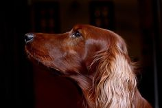 Fewer dogs more beautiful than an Irish Setter. Still love Red Dog 35 years later.