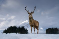 Bwpa 2014 Animal Portraits Highly Commended. The King of Rannoch Moor and Glencoe, Scotland. Keith Thorburn