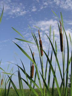 Cattail: Oneal Lake,  Brownsville, TN