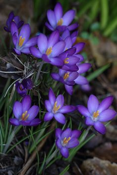 outdoormagic:  Crocuses by Lord V
