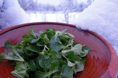 Vi har inte köpt bladgrönsaker på flera år. Vi njuter hemodlad vintersallat, nästan omöjligt fräsch från trädgården - nyskördad i februari.