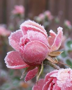 frosted rose...so pretty and pink