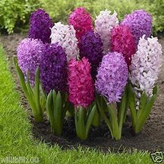 "10 Hyacinth Bulb ""Fierce Mix"",beautiful blue Flowers,Fragrant,NOW SHIPPING !"