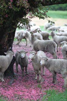sheep on a pink carpet.