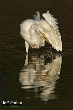 Great Egret (Ardea alba) with reflection; © Jeff Parker / ExploreinFocus.com