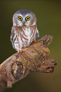 Petrified - by Stephen Oachs on 500px  - The average Northern Saw-whet Owl (Aegolius acadicus) weighs a mere 5 ounces at maturity, and sports a full wingspan of 16-19 inches.