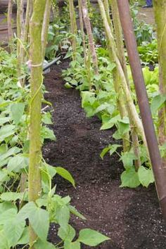 Growing Beans for Drying, how to grow more....