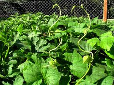 How to plant and grow pole beans, bush beans, lima beans and other legumes...