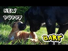 INTRODUCING NEW PUPPY BART TO OUR DOG NOOKIE - YouTube