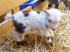 pet nigerian dwarf goats - Bing Images