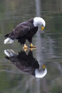 """Eagle on Ice"" ~ Photo by James Geddes: ""This eagle seems to be pondering his reflection in the ice. What is he thinking? Does he realize it is a reflection? Or is he peering through the ice to the fish below ."".."