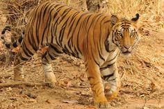 Inès en tigre