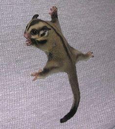 Sugar Glider aka pocket pet who wants one :)