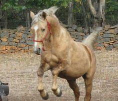 #Palomino #Horse