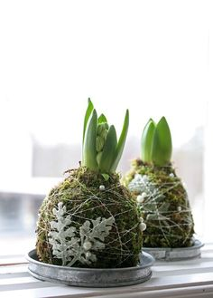 ... if I'm to understand this correctly ... one can simply wrap BULBS in MOSS { kept moist } wrapped with twine and a bit of decoration within a TERRACOTTA Saucer ...