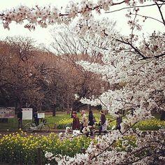 Beautiful Hanakoganei Park in Japan