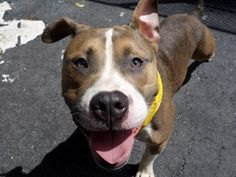 TO BE DESTROYED - 8/22/14 Manhattan Center -P My name is MAKO. My Animal ID # is A1010469. I am a male tan and white pit bull mix. The shelter thinks I am about 1 YEAR 6 MONTHS old. I came in the shelter as a STRAY on 08/13/2014 from NY 10460, owner surrender reason stated was STRAY. https://www.facebook.com/Urgentdeathrowdogs/photos/a.611290788883804.1073741851.152876678058553/855956524417228/?type=3&theater