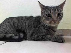 TO BE DESTROYED 5/10/14 ** BooBoo is a sweet cat that is longing for a forever home. BooBoo adores attention, enjoys cuddling, and will make a great companion Animal ID # is A0997679.Spayed female brn tabby domestic sh. about 5. OWN ARREST https://www.facebook.com/media/set/?set=a.787631587921497.1073742298.220724831278845&type=3#!/nycurgentcats/photos/a.787631587921497.1073742298.220724831278845/787631664588156/?type=3&theater
