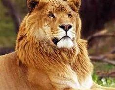 Panion lion, - Google Search