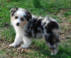 Cutest Mini Aussie Puppy ever! They always have the cutest puppies! My sons puppy Wally was super cute! Mini Aussie Puppy, Aussie Puppies, Cute Puppies, Cute Dogs, Dogs And Puppies, Doggies, Teacup Puppies, Corgi Puppies, Dachshunds