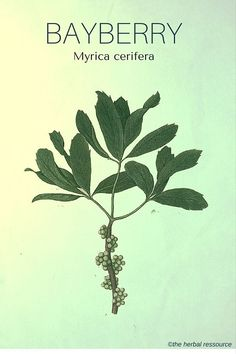 The Medicinal Herb Bayberry