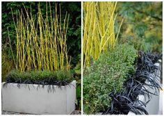 Yellow twig dogwood (Cornus sericea 'Flaviramea') paired with lemon thyme (Thymus x citriodorus) and black mondo grass (Ophiopogon planiscap...