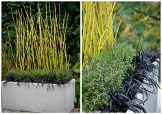Yellow twig dogwood (Cornus sericea 'Flaviramea') paired with lemon thyme (Thymus x citriodorus) and black mondo grass (Ophiopogon planiscap...
