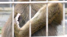 浜松市動物園のマンドリルたち 2018-01-01 (Mandrill / Hamamatsu Zoo logical Garden Na ez az... ha csak így tudok mandrillt tartani, akkor nem tartok!